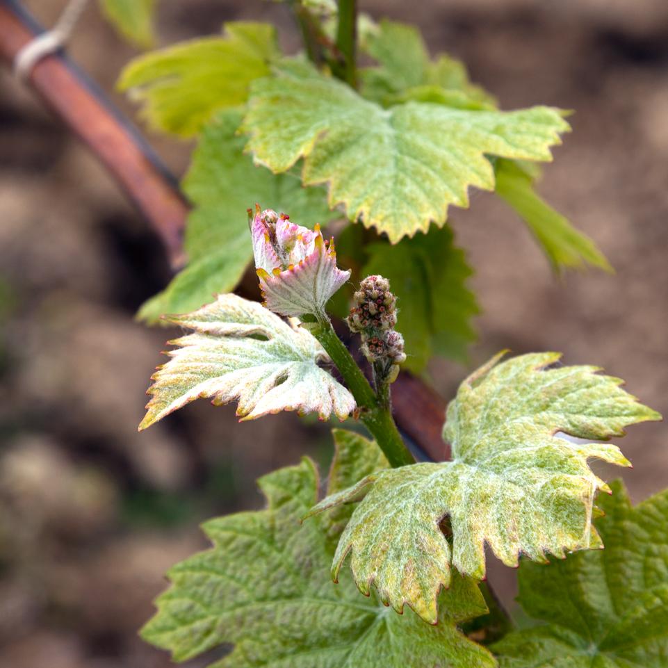 vigne_bourgogne