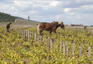 Quel cépage en Bourgogne ?