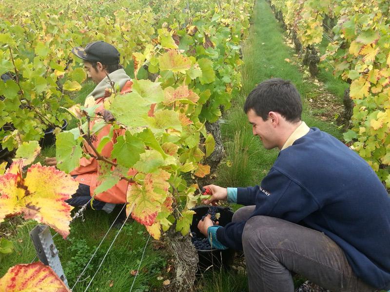 Vendange 2015 en Bourgogne