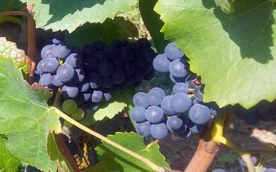 Millésime 2016 Bourgogne