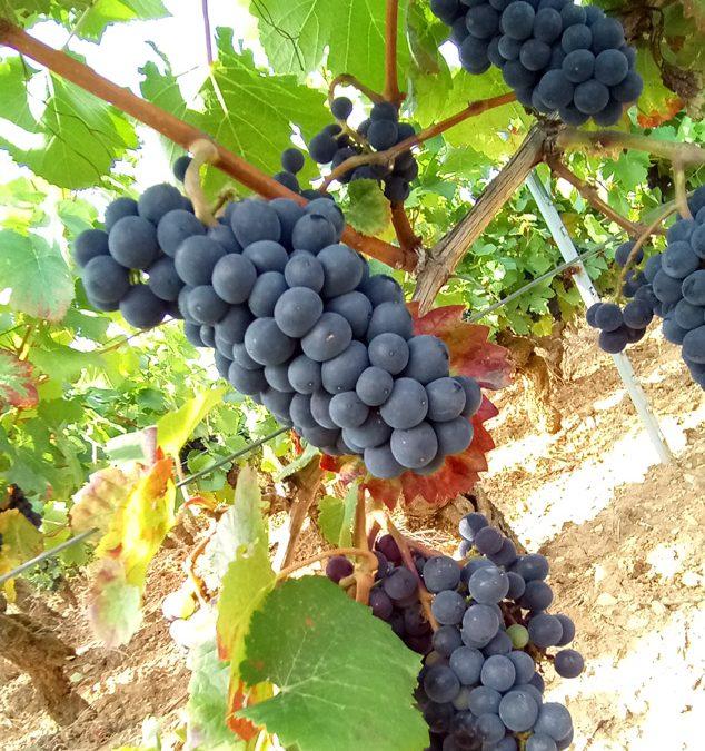 Millésime 2018 en Bourgogne : impact de la canicule?