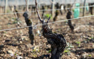 Taille de la Vigne en Bourgogne