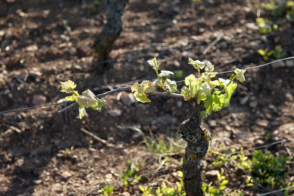 Quel impact du virus pour les vignerons de Bourgogne ?