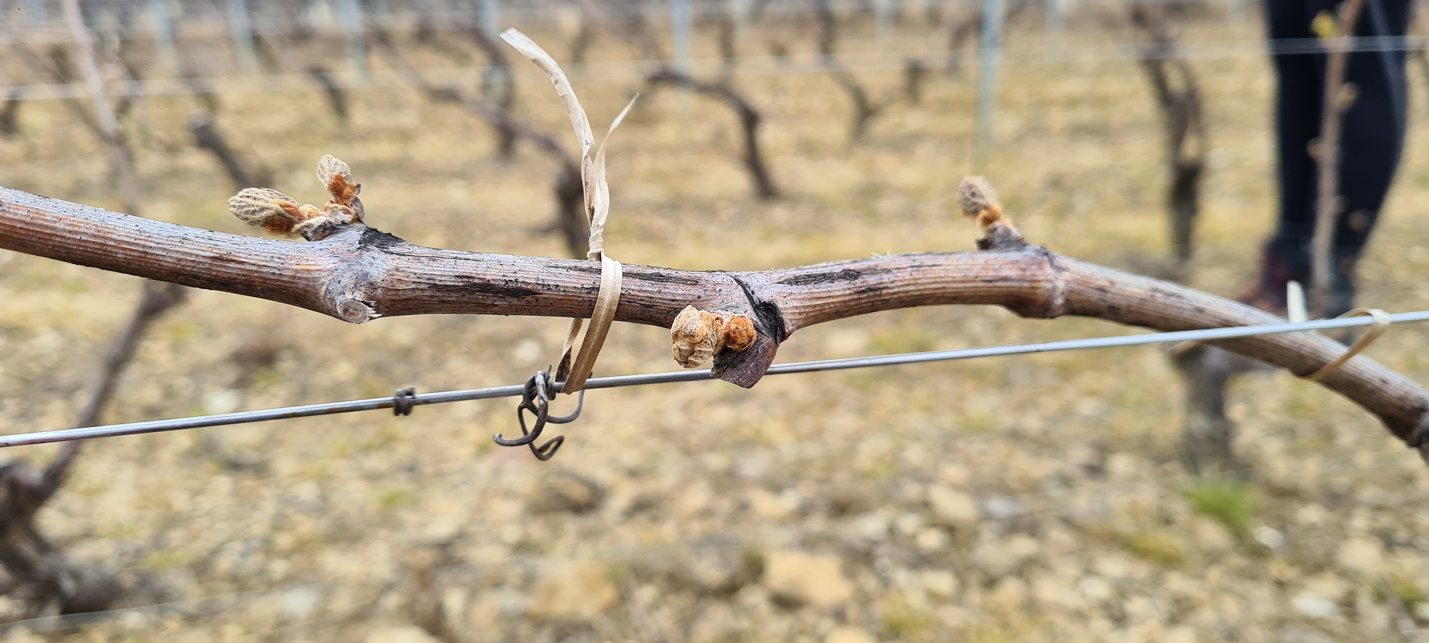Bourgeon gel Bourgogne