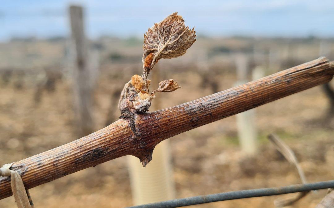 Un gel d'avril 2021 dévastateur en Bourgogne