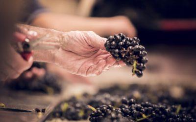 Millésime 2021 : les vendanges ont commencé en Bourgogne